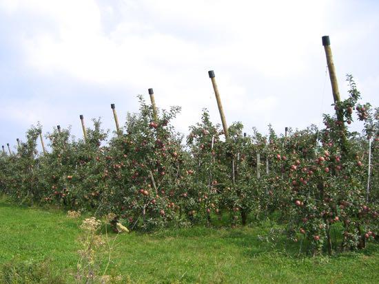 Nogle af de mange æbletræer